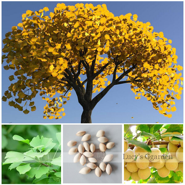 Ginkgo Biloba: a recipe for health and beauty